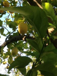 lemon tree 1