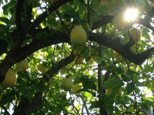 lemons sun