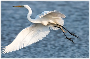 Great Egret - HB 0455_DSC8374